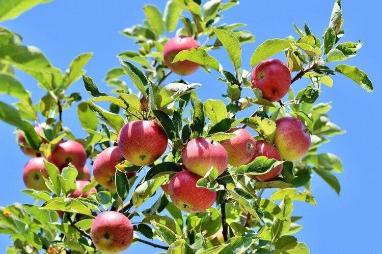 Обв'яжіть крону шпагатом: як врятувати від зими молоді фруктові дерева