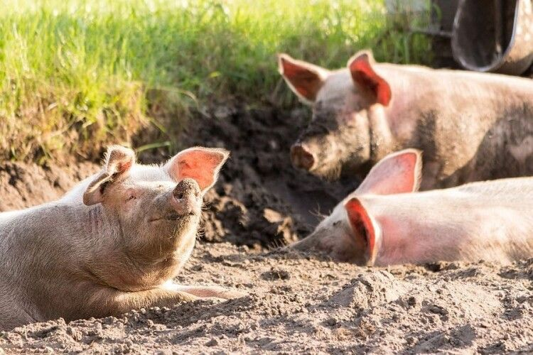 Штучний інтелект навчився розпізнавати емоції корів та свиней