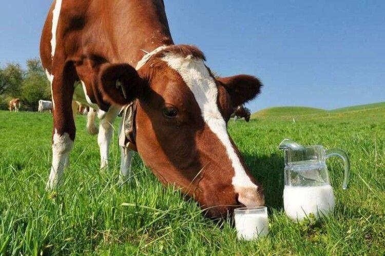 А якщо на Волині? Арабська країна візьметься за розведення у нас корів