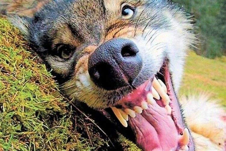 У волинському селі в загиблої собаки виявили сказ: село на карантині