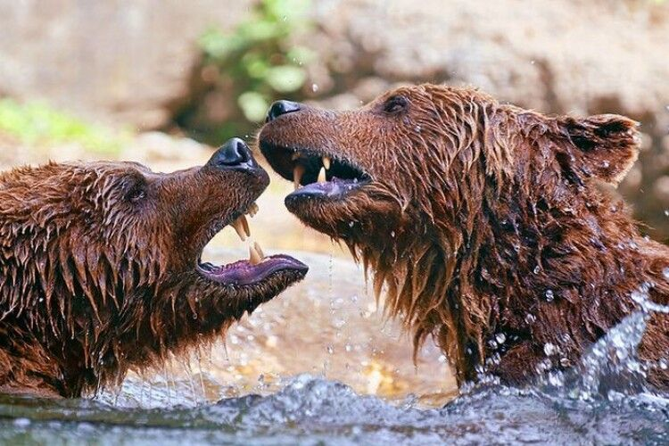 Озвіріли від спеки: у Румунії ведмеді побилися за порцію морозива