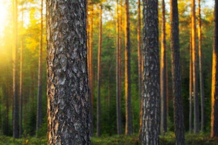Біля Любомля лісокради нарубали сосен на 26000 гривень