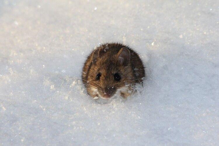 Погода на понеділок: завтра мишам буде важко вибратися з-під снігу