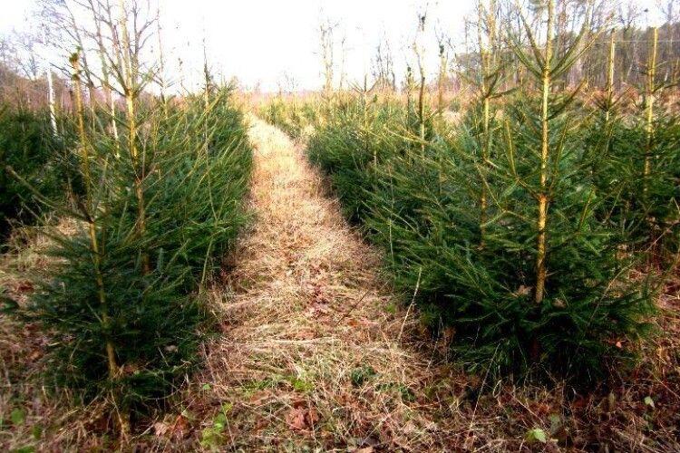 На Волині 40 гектарів засадили новорічними ялинками
