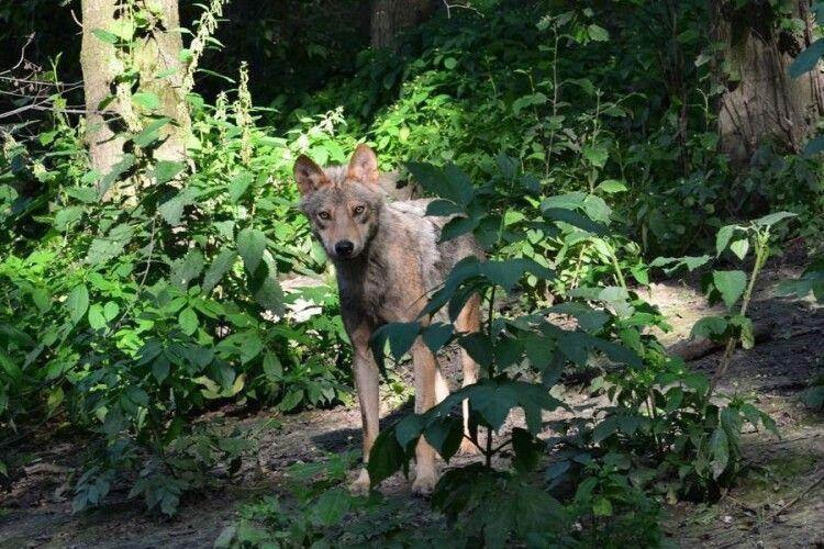 У маневицьких лісах чоловік ніс в ніс зіткнувся з вовком