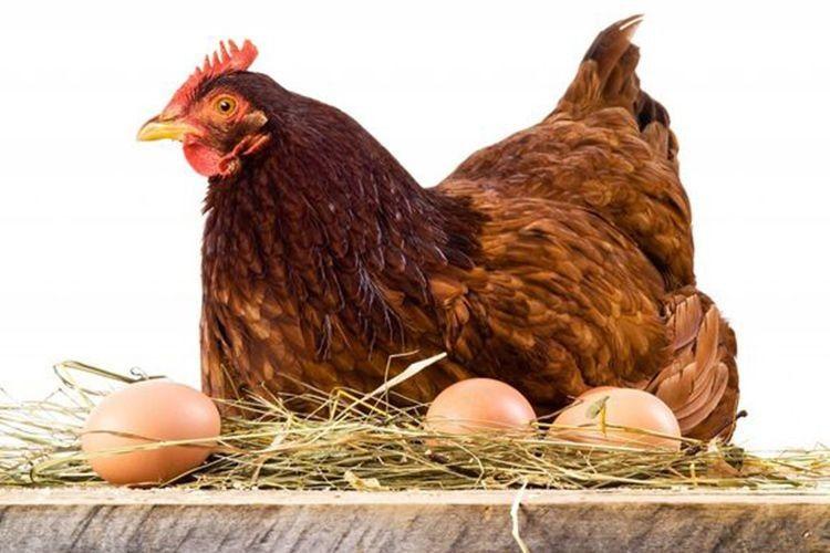 Найкращі яйця під квочку — середнього розміру