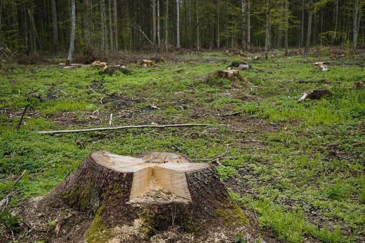 Волинянин відшкодував понад 108 тисяч гривень, бо рубав дерева на території державного лісгоспу