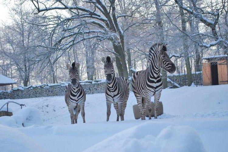 У Рівному три смугастих кавалери з нетерпінням чекають на дівчинку-зебру