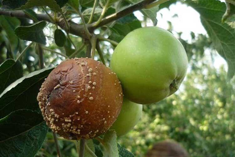 Яблука ще не достигли, а вже — гнилі...