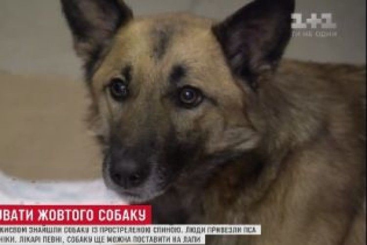 У Києві врятували собаку, якого знайшли у лісі з простреленою спиною