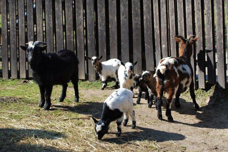 У Рівному цап з козою стали багатодітними батьками
