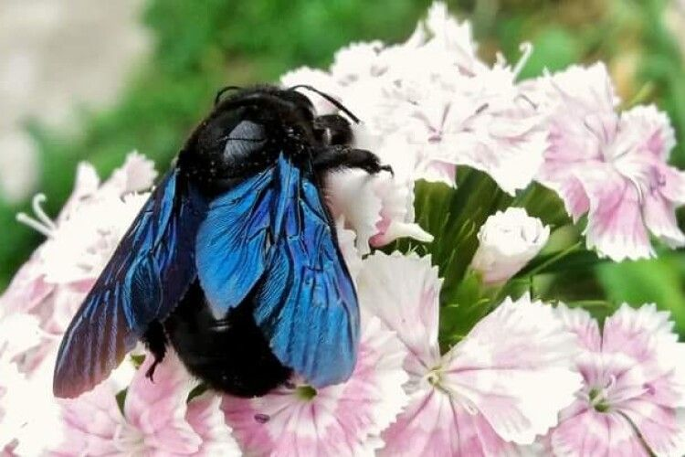 Фотомисливиця вполювала червонокнижну синю бджолу