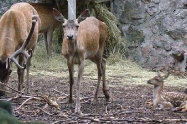 На Поліссі зазнімкували сімейство оленів (Відео)