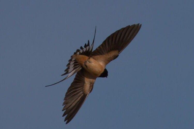 Серпиками крил стинають тишу