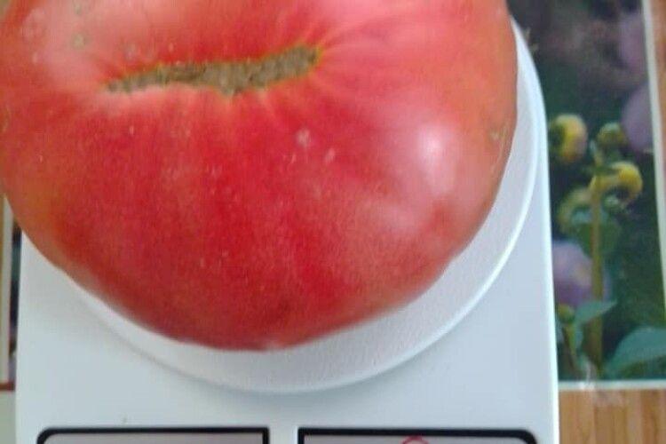 У волинянки виросли велетенські помідори (фото)