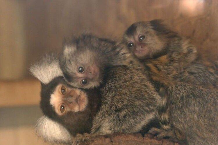 Луцькі мініатюрні мавпочки отримали нові хатки (Відео)