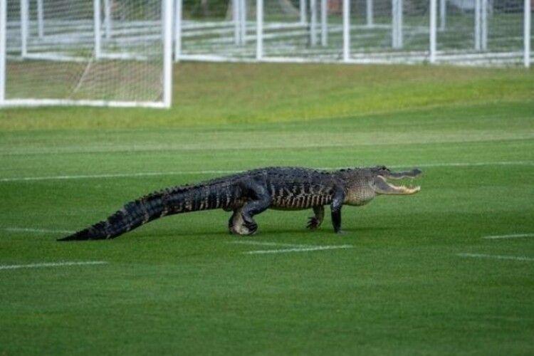 Під час тренування на футбольне поле вибіг крокодил