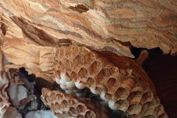 Показали, як на Рівненщині знешкодили кубло шершнів (Фото)