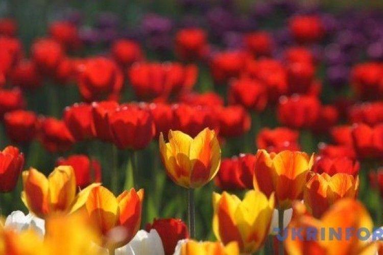 На Буковині висадили величезне поле тюльпанів у формі карти України