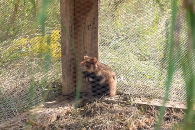 В Україні вирішили заохотити диких хом'яків активніше розмножуватися (Фото)