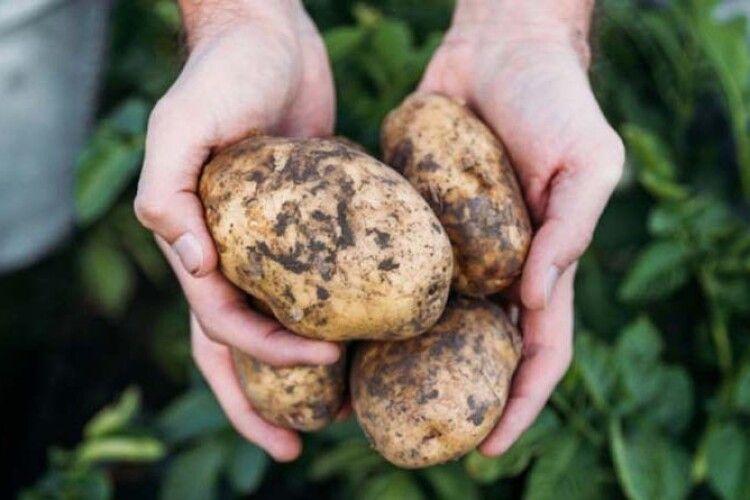 Так ніхто не копав: фермер з Рівненщини вибирає картоплю з авто (Відео)