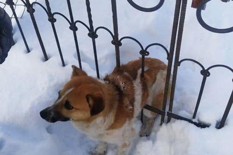У Ківерцях рятували пса, який застряг у металевих воротах