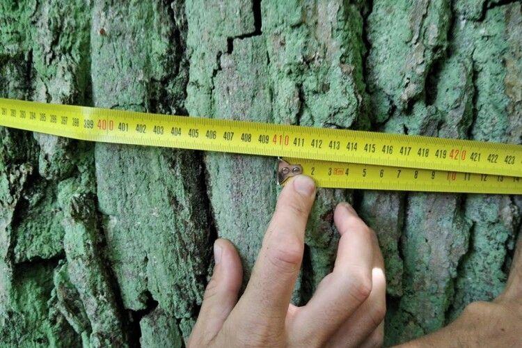У Цуманській пущі знайшли 400-літнього дуба-велетня (Фото)