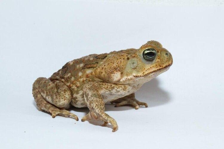 У Франції закохані жаби програли суд обуреному чоловікові