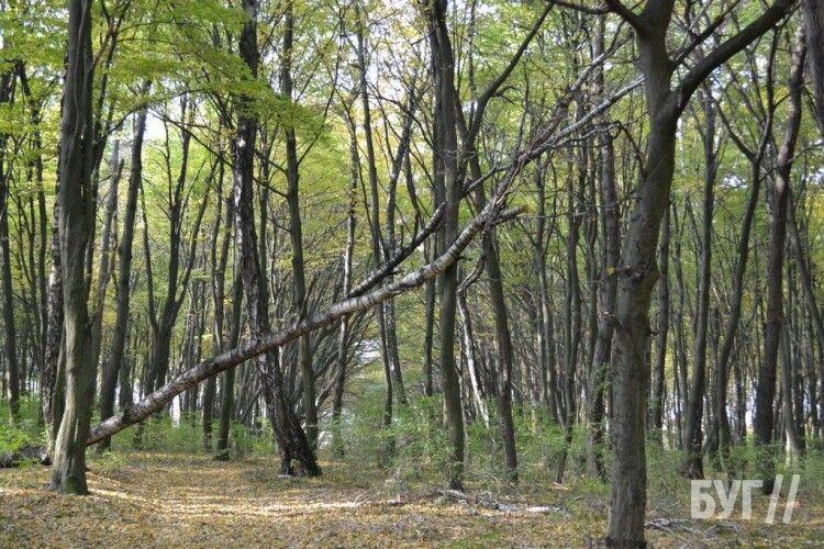 У громаді на Волині вирішили, що робитимуть з поваленими деревами (Фото)