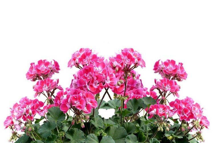 Квіти укімнаті: користь ішкода