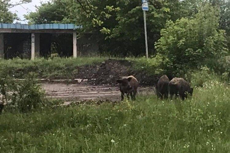 У селі на Волині біля зупинки паслися дикі кабани (Фотофакт)