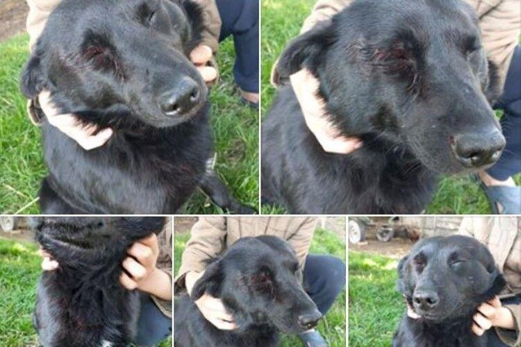 На Рівненщині домашньому псу прострелили око і лапу