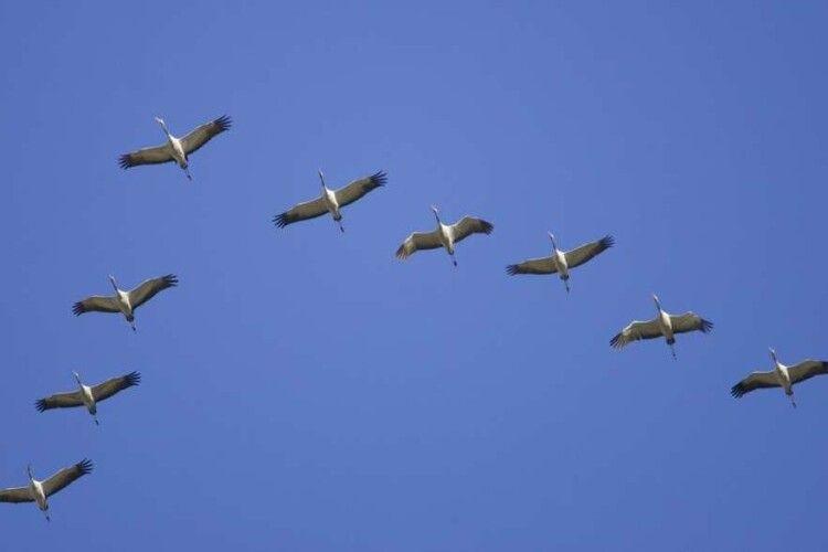 У небі над Волинню зафіксували рекордний журавлиний ключ