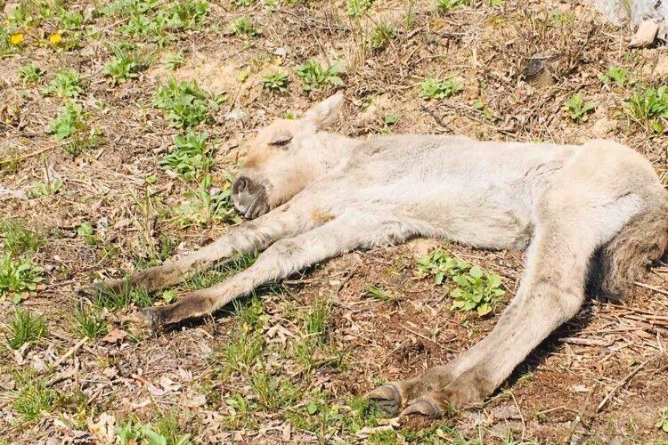 Зоозахисники рятують лоша Пржевальського, яке загубило маму-кобилу під час пожежі в Чорнобильській зоні (Відео)