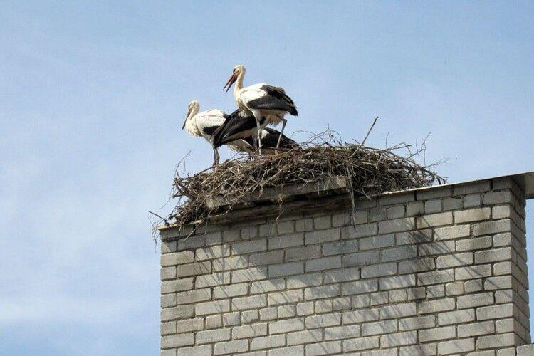 Лелеки оселилися на даху школи (Фото)