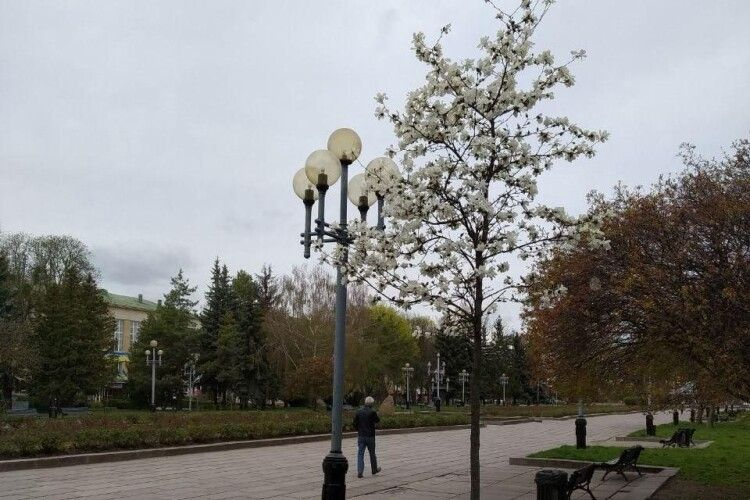 На Рівненщині квітнуть магнолії. Фото