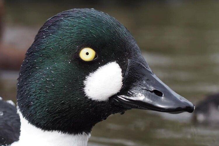На Волині є птах, який нагадує про автора роману «Мертві душі»