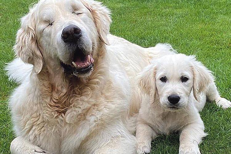 Пес–поводир водить… незрячого собаку