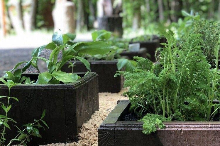 На території Лісівничого молодіжного центру у Воротневі з'явилася алейка лікарських трав