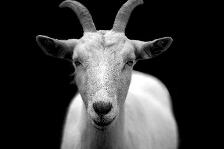 Пожертвував собою заради... кози (Фото)