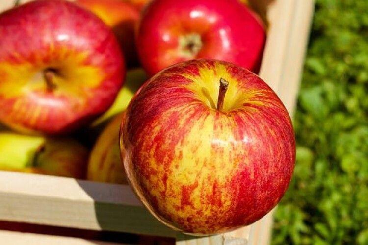 Африка жваво хрумає яблука з України