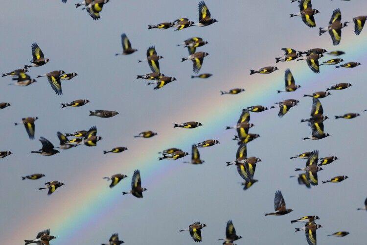 Рівненське Полісся атакують зграї щигликів (Фото)