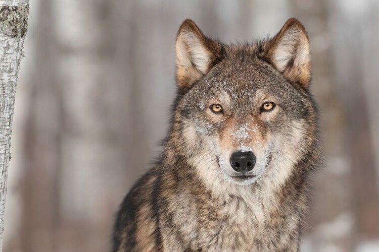 Словаччина запроваджує кримінальну відповідальність за вбивство вовка