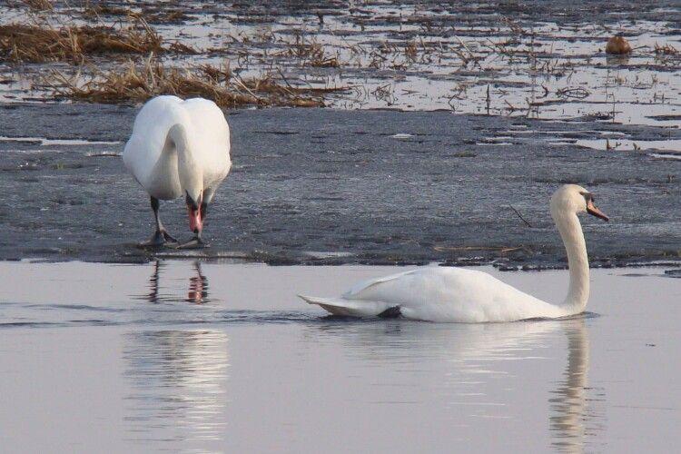Як зимується лебедям на волинському озері Люб'язь (Фото)