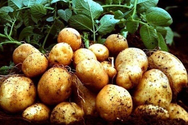 В Україні виробництво картоплі на межі зникнення