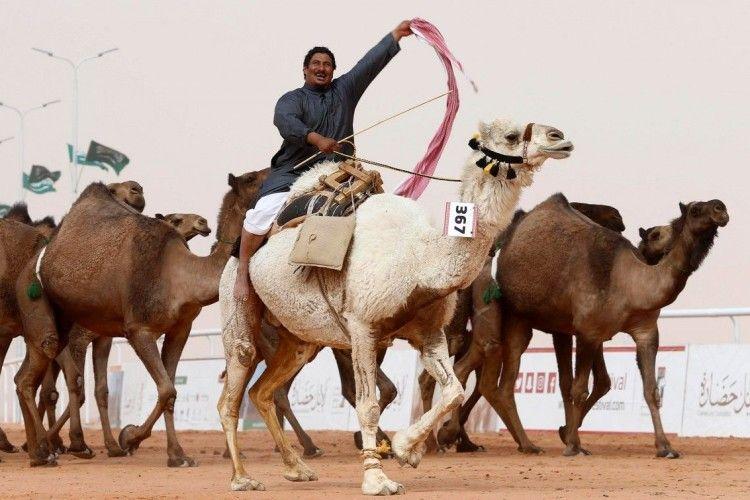 Дюжину верблюдиць дискваліфікували з конкурсу краси – «накачали» губи «батоксом»