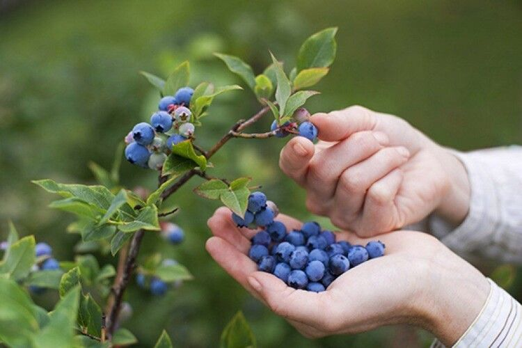 Українські фермери зайнялися найдорожчою ягодою в світу