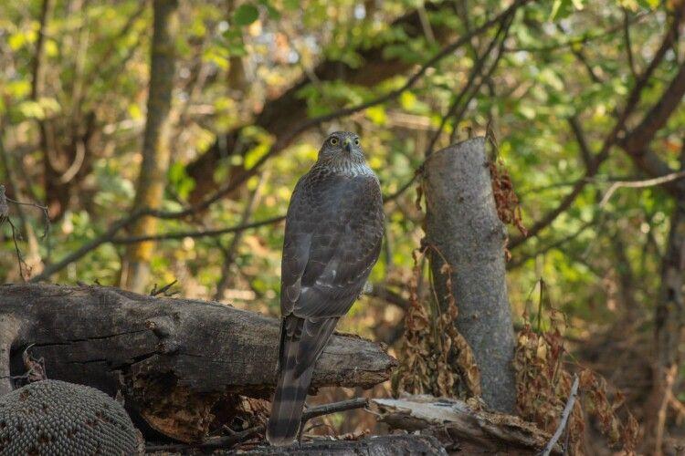 Птахолюб «підколов» яструба: увімкнув у лісі запис яструбиної мови (Фото)
