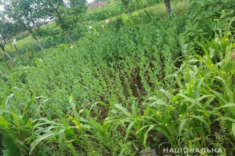 Плантацію маку селянка замаскувала у кукурудзі (Фото)