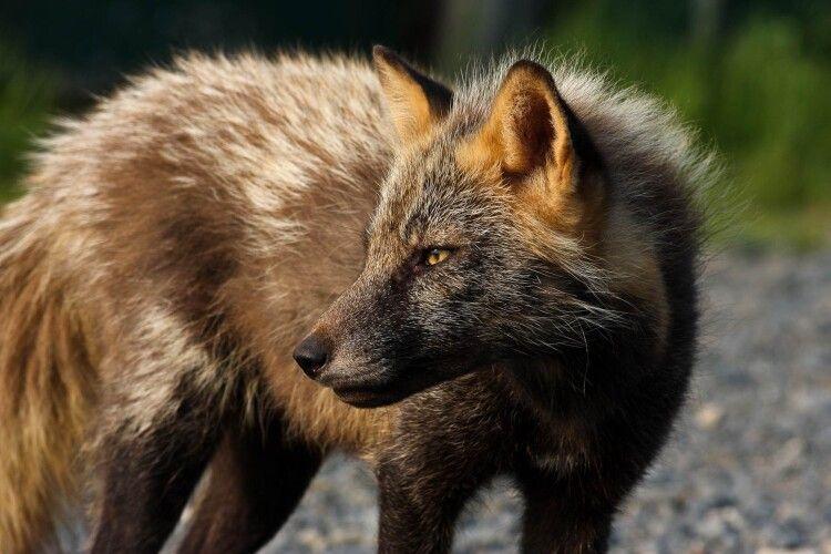 На Рівненщині лисицю можна погодувати із рук (Відео)